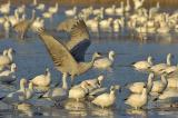 164 Sandhill Crane and Snow Geese