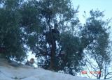 harvesting olives.JPG