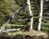 Forest Scene, Kern Plateau