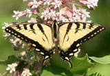 Eastern Tiger Swallowtail (male) - Papilio glaucus