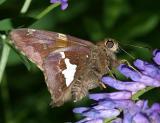 Silver-spotted Skipper - Epargyreus clarus