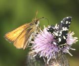 6077 -- Mournful Thyris Moth -- Thyris sepulchralis
