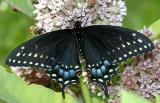 Black Swallowtail - Papilio polyxenes  female
