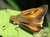 Delaware Skipper - Anatrytone logan , female