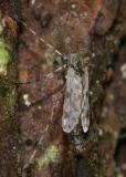 Ablabesmyia subgenus Karelia