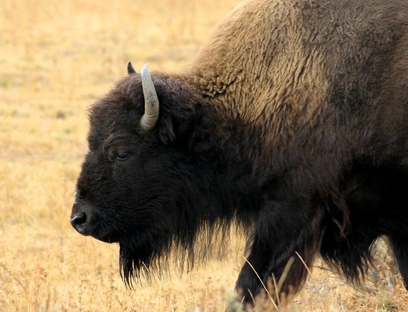 Bison 140