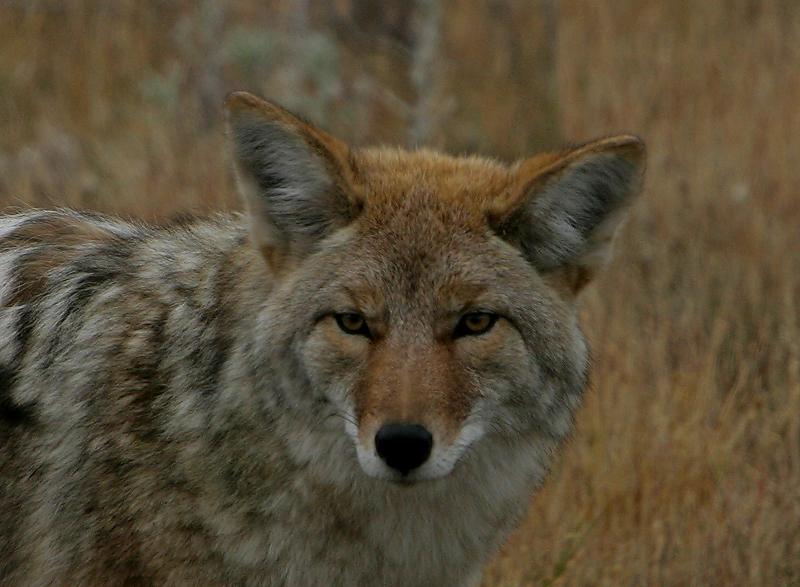 Coyote 220