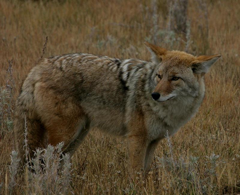 Coyote 250