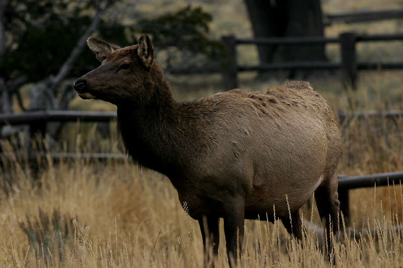 Elk 200