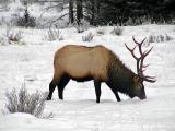 Winter feeding Elk