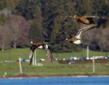 American Wigeons in Flight.jpg