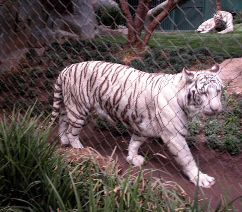 White Tiger - Secret Garden - Mirage, Las Vegas