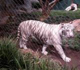 White Tiger - Secret Garden - Mirage, Las Vegas