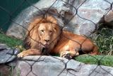 Male Lion - Secret Garden - Mirage, Las Vegas