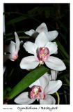 Another Cymbidium blossom
