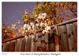 Full Moon Lit Cherry Blossoms