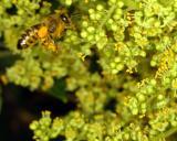 14622 Honeybee