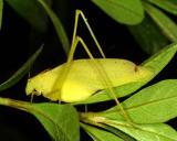 15084 Yellow Katydid