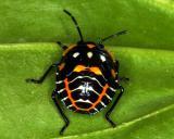 15144 Green Stink Bug (Nymph)