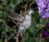 Hummingbird taken using TC E2