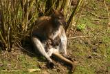 Red-necked Wallaby  with baby (captive)