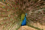Peacock (captive)