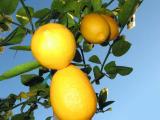 Bright Lemon Sky with Pine Needles
