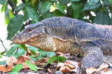 Malayan Water Monitor Lizard 2.jpg