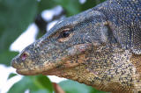 Malayan Water Monitor Lizard.jpg