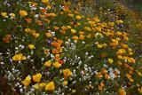 Apache Flowers #3