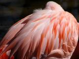 Flamingo Napping
