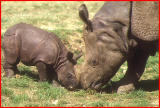 Indian rhino and calf.