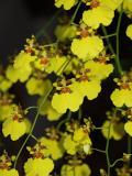 Jo Ellens orchid