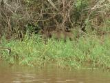 Capybara (largest rodent)