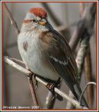 Les bruants nord-américains (North American Sparrows)