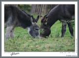Donkey couple