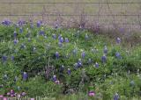 Early Bluebonnet Blooms: CR-226
