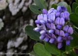 Moutain Laurel - WildflowerHaven