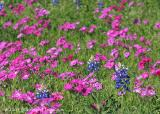 Bluebonnets and Drummond's phlox