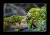 Riverside Mossy Bough