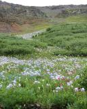 Ouray Wildflowers