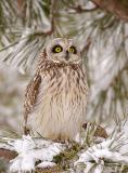 Salisbury, MA Short eared Owl ~ Wild Eyes