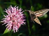 Humming Bird Moth Feeding On A MilkweedbyLisa Young