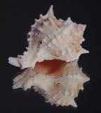 Seashell Reflected by Faye White