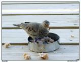MUSDUIF - Common Ground Dove - Totolika