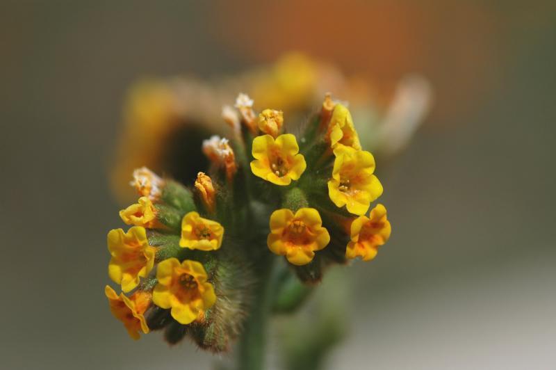 Antelope Valley /Fiddleneck 3
