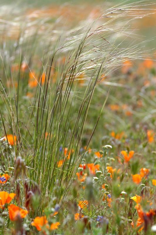 Antelope Valley/Poppy Reserve