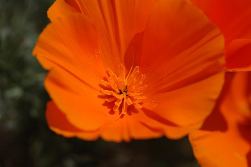 Antelope Valley/Poppy