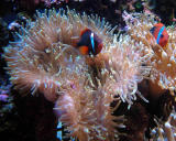 Clown Fish w/ Sea anenome