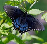 Eastern Tiger Swallowtail (Papilio glaucus) female